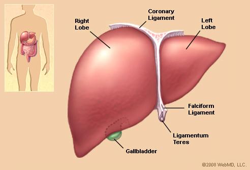 organ liver